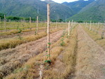 Drip irrigation in Passion Fruit