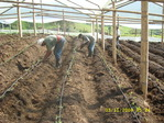 Drip line for greenhouse tomato