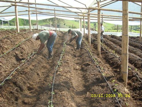 Línea de goteo para tomate en invernadero
