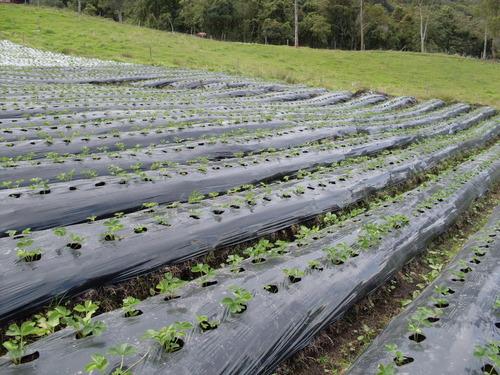 Sistema de goteo y plastico para cultivos
