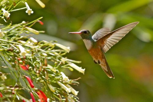 Un amigo de nuestro paraiso :) el colibri del balsa surf camp