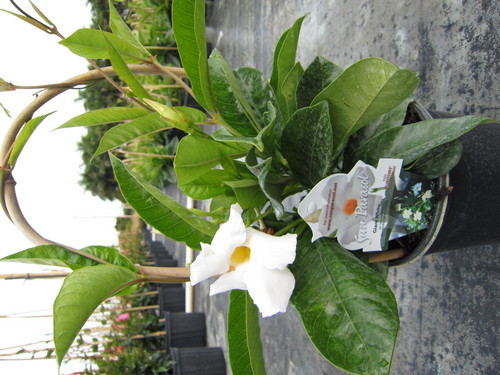 Giant White Mandevilla 1 Gallon