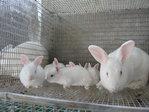 Granja de Conejos pura sangre