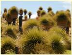 Puya floresta ou TIKANKAS - Ayacucho