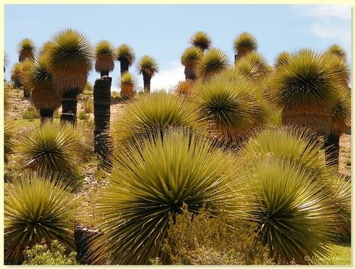 BOSQUE DE PUYAS ó TIKANKAS - Ayacucho