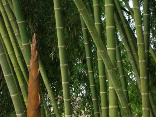 Guadua - bambú